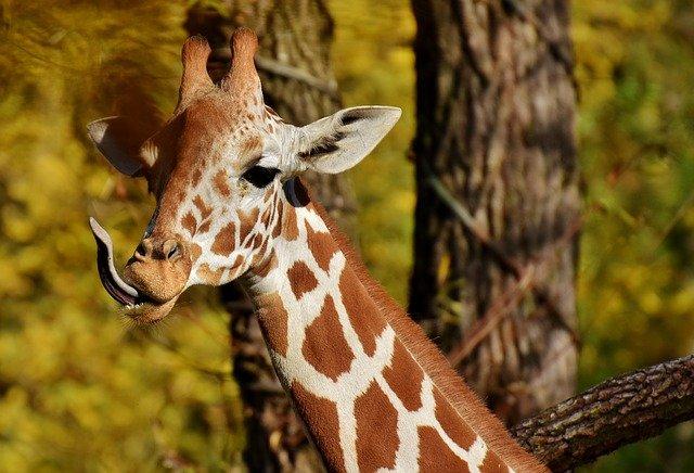 žirafa u stromu
