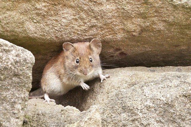 malá myška