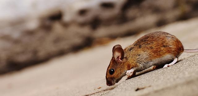 hnědá myšička